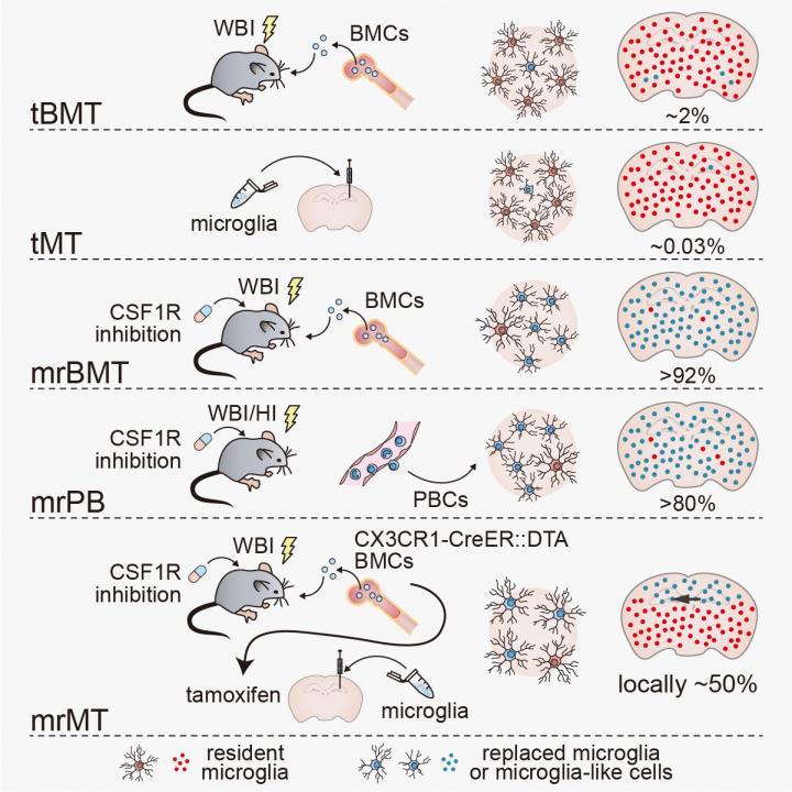 Strategies for microglia replacement via tBMT, tMT, mrBMT, mrPB and mrMT.