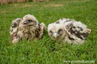 Saker Falcon fledges