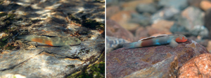 Lentipes bunagaya and Lentipes palawanirufus male gobies