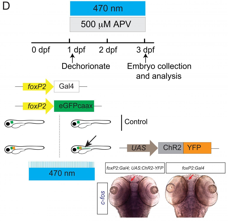 Optogenetic Analysis
