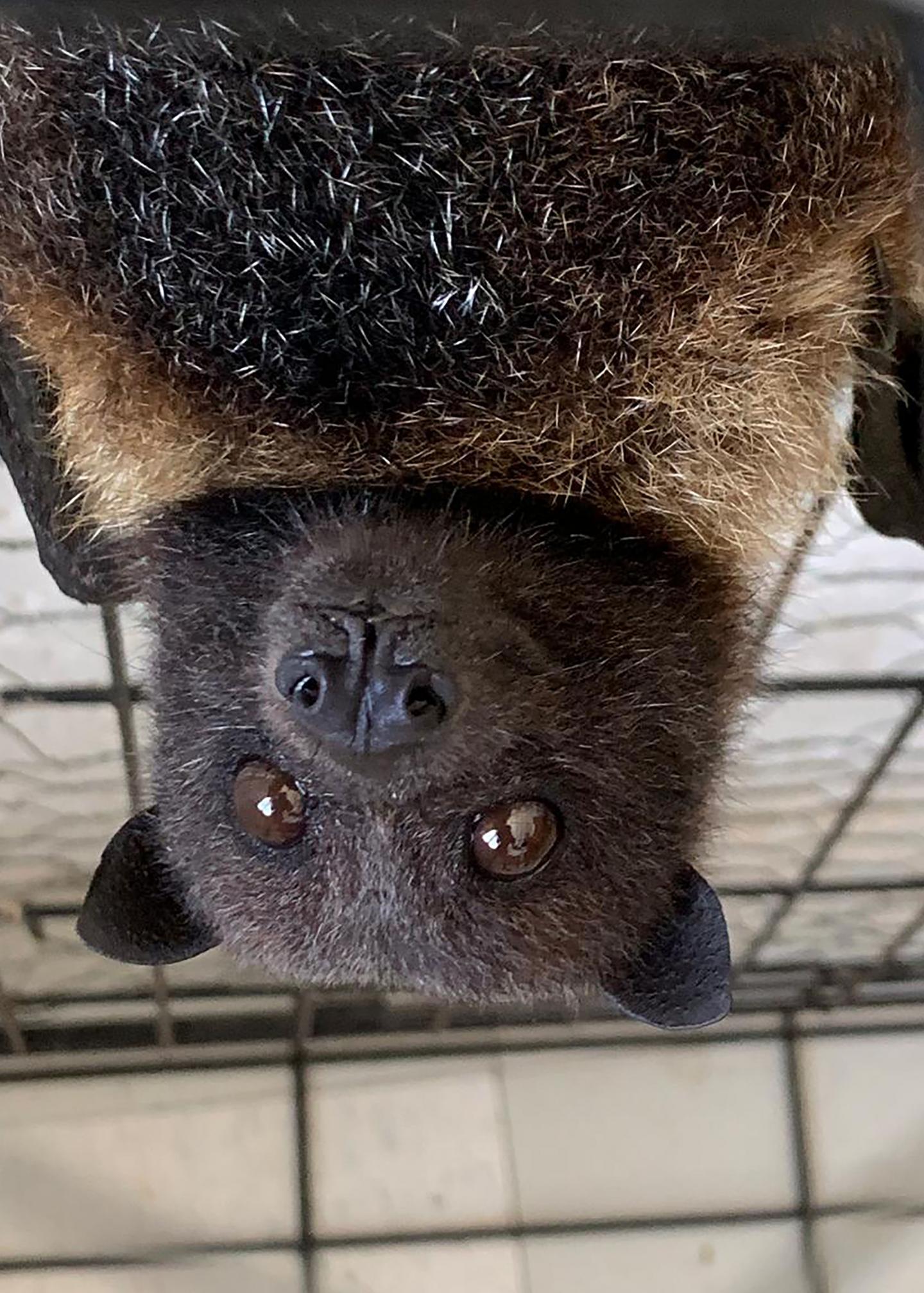 Mariana Fruit Bat