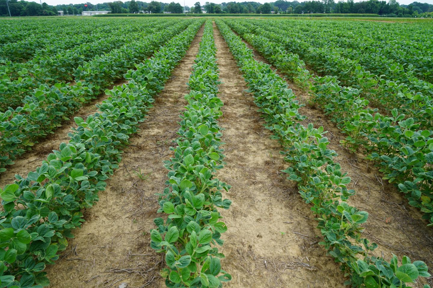 Soybeans with Dicamba Injury