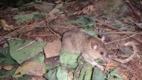 Mt. Abra de Ilog Mouse