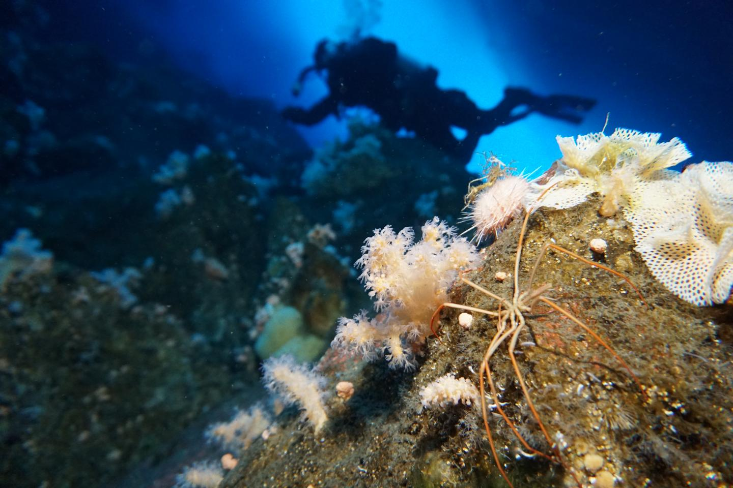 Sea Spider with Diver