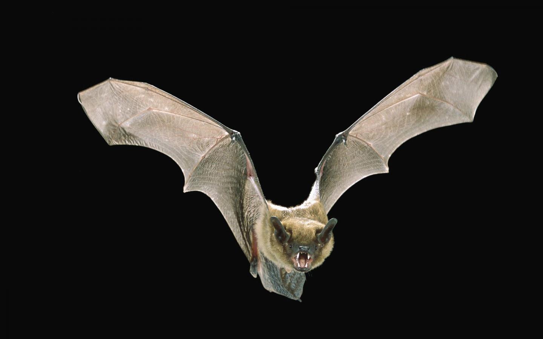 """Bat Detectives"" Train New Algorithms to Discern Bat Calls in Noisy Recordings"