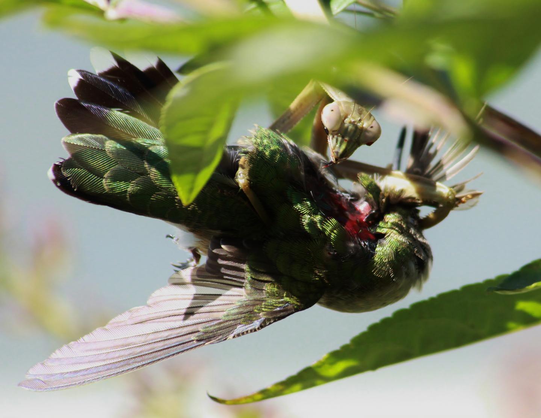 Praying Mantises Hunt Down Birds World