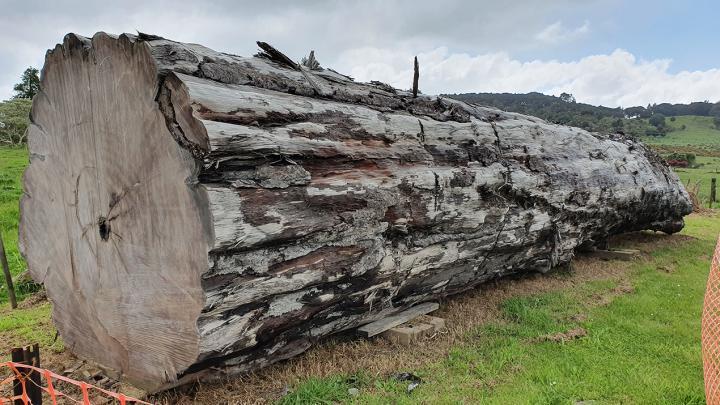 An ancient kauri tree log from Ngāwhā, NZ