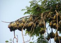 Roosting Straw-Colored Fruit Bats