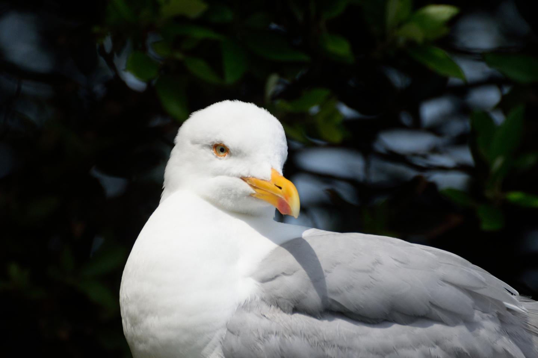 Herring Gull (2 of 3)