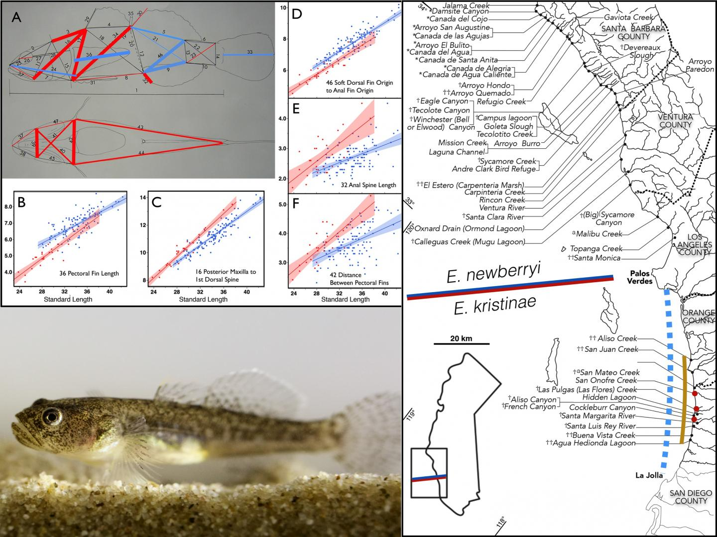 Morphological Analysis Suggests Endangered Goby Is New Species