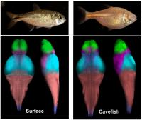 Mapping Cavefish Brains