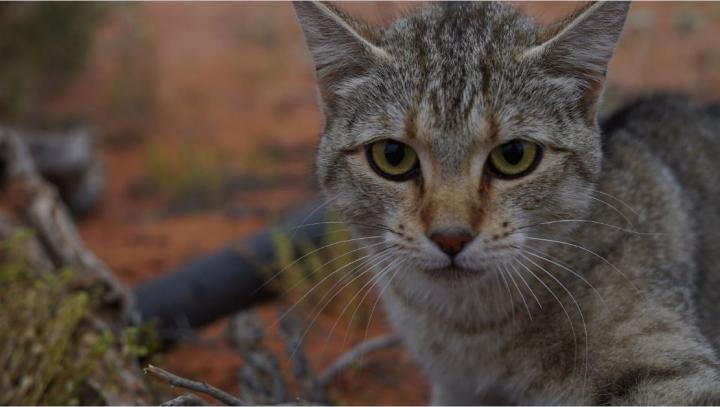 Feral Cats Now Cover Over 99.8% of Australia