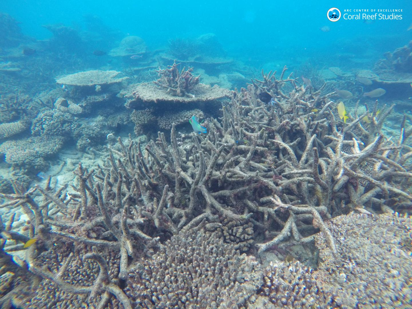 Dead Staghorn Coral