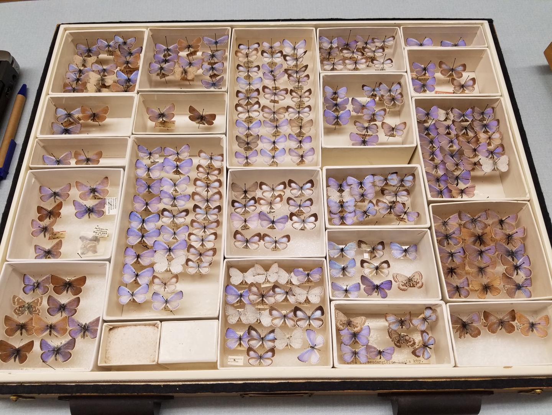Drawer of butterflies