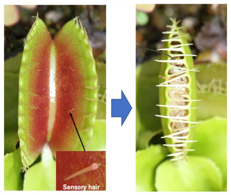 Sensory hairs of the Venus flytrap