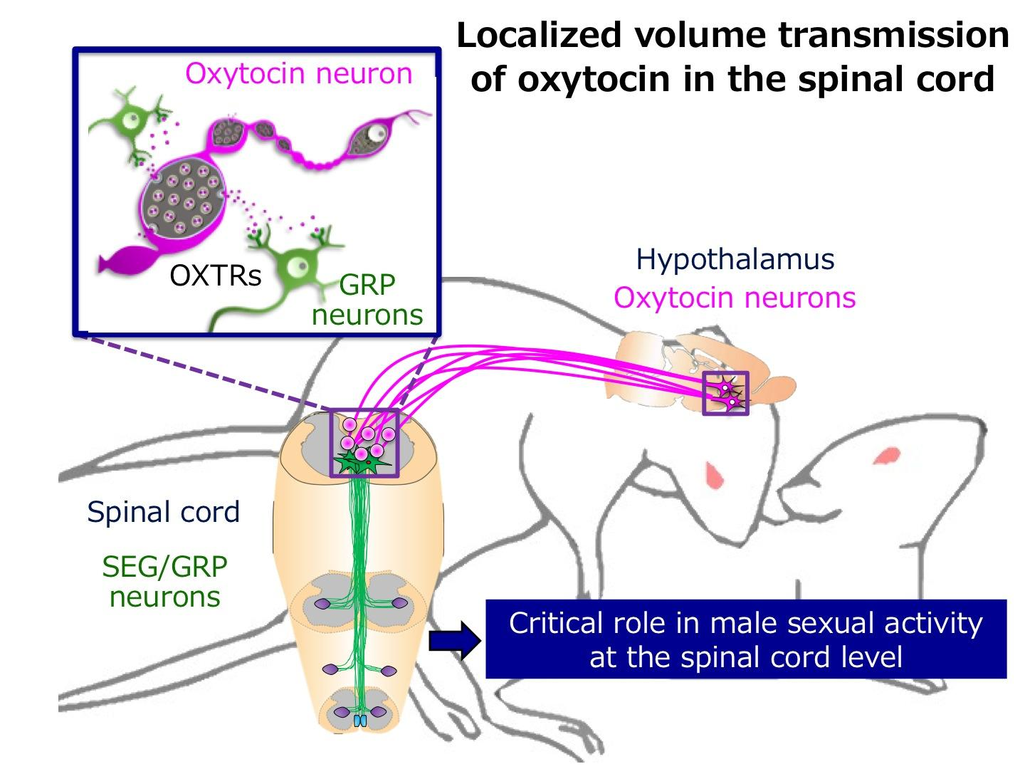 Novel Roles of the Love Hormone 'oxytocin' in Controlling Male Sexual Activity