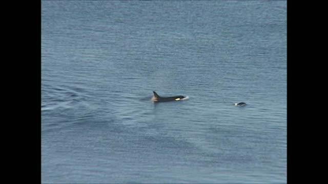 Resident Killer Whales Travel through Salmon Foraging Grounds