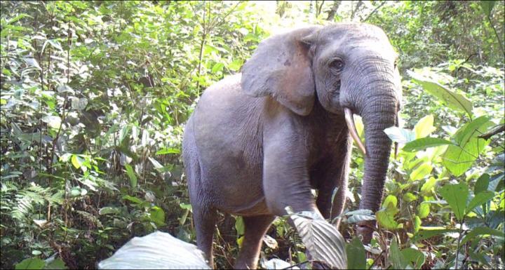 Poulsen Forest Elephants