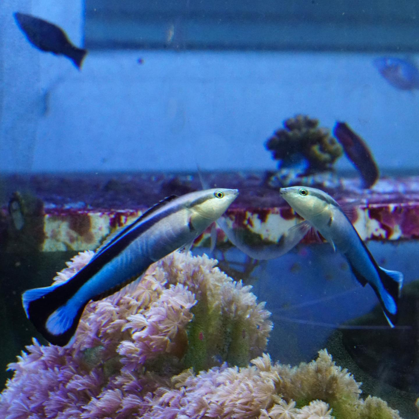 Do Fish Recognize themselves in the Mirror?