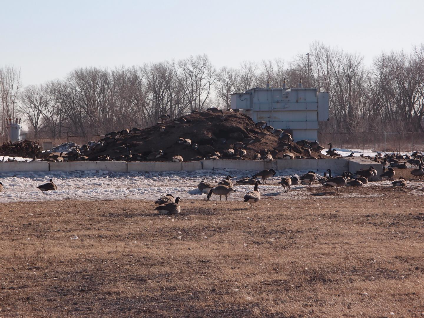 Canada Geese Spending the Winter in Chicago