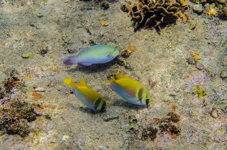 Parrotfish and rabbitfish in Thailand