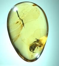 <i>A. burmitina</i> in Amber