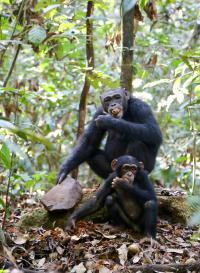 Taï Chimpanzees
