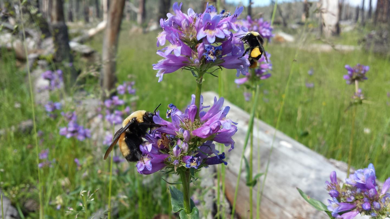 Bumble Bees on <em>Penstamon rydbergii</em>