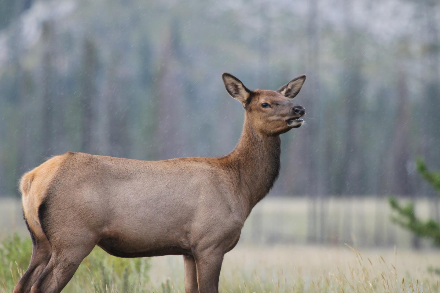 Female Elk Can Learn to Avoid Hunters with Age