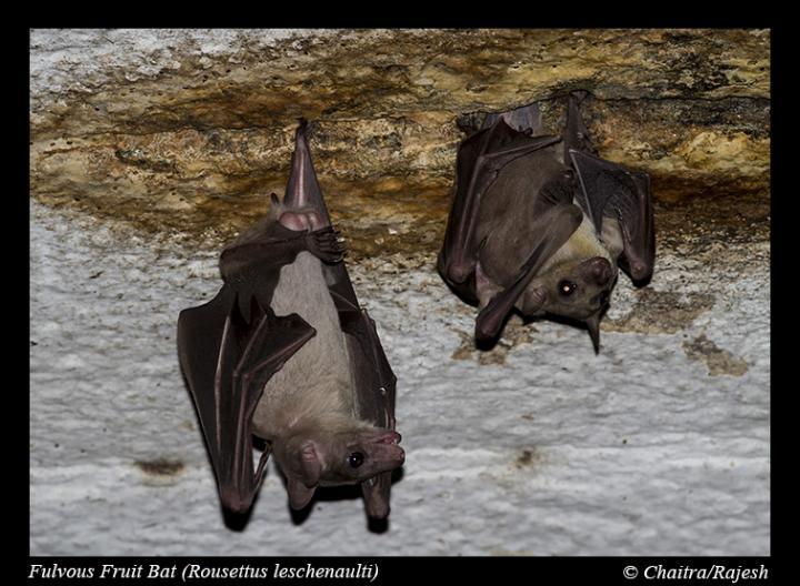Rousette Fruit Bats