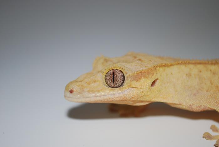 Grieving gecko