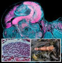 Mushroom Body in a Shrimp