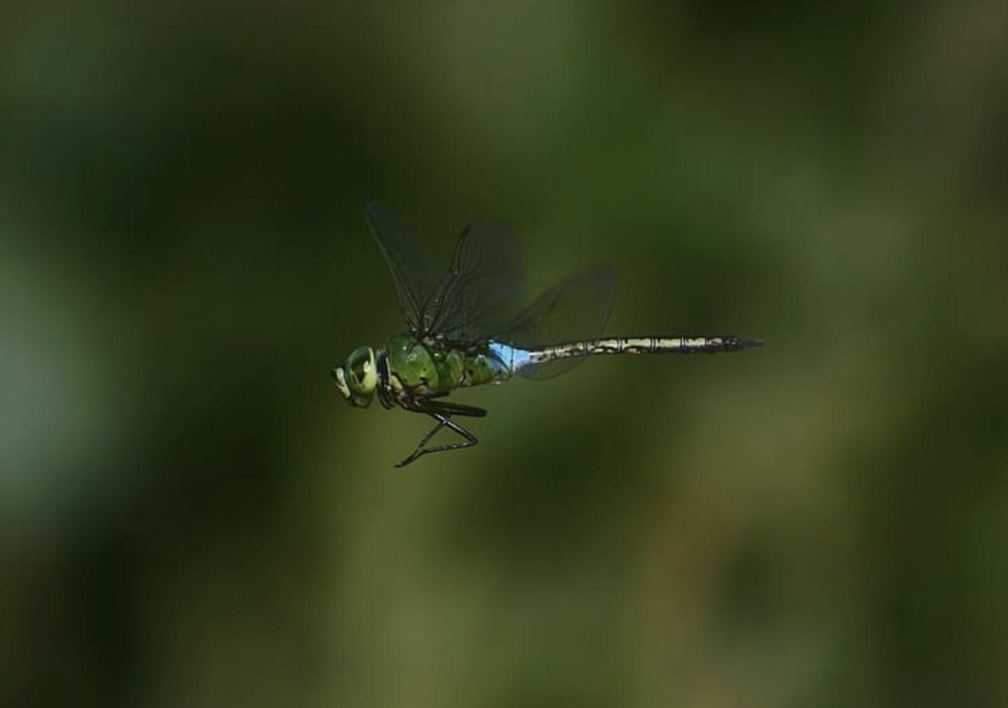 To See a Dragonfly's Wings in Flight Clearly Requires Keen Visual Acuity