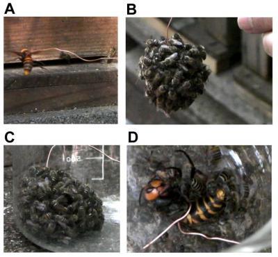 Japanese Honeybees Swarm Huge Hornet Predator to Kill it with Heat
