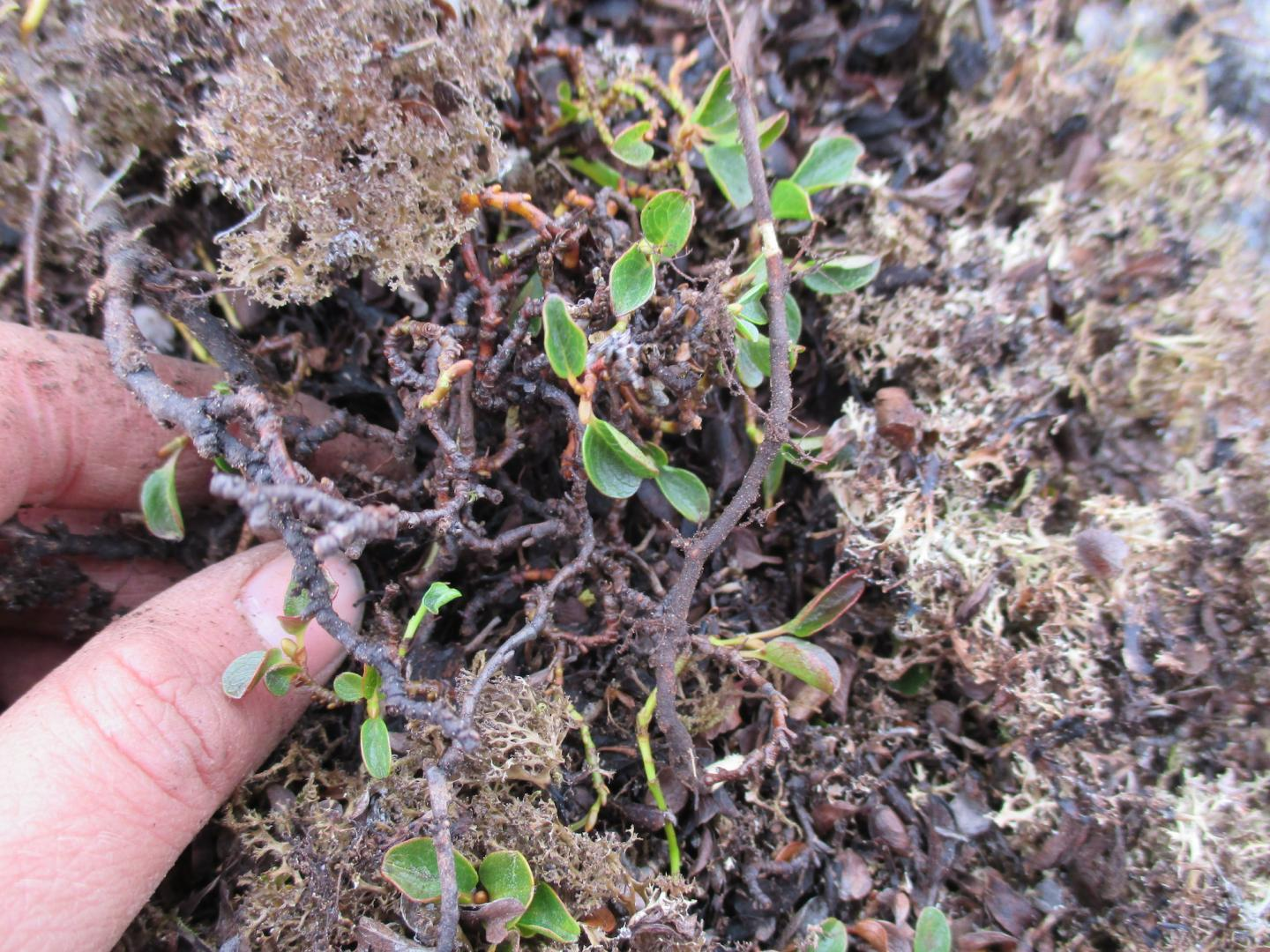 Tiny Willow Plays Important Role in Ecosystem