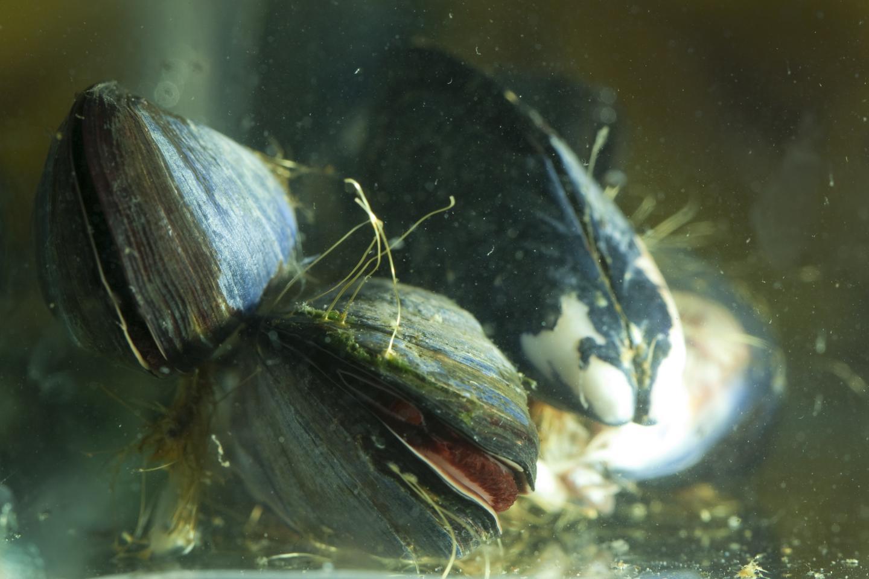 Marine Mussels