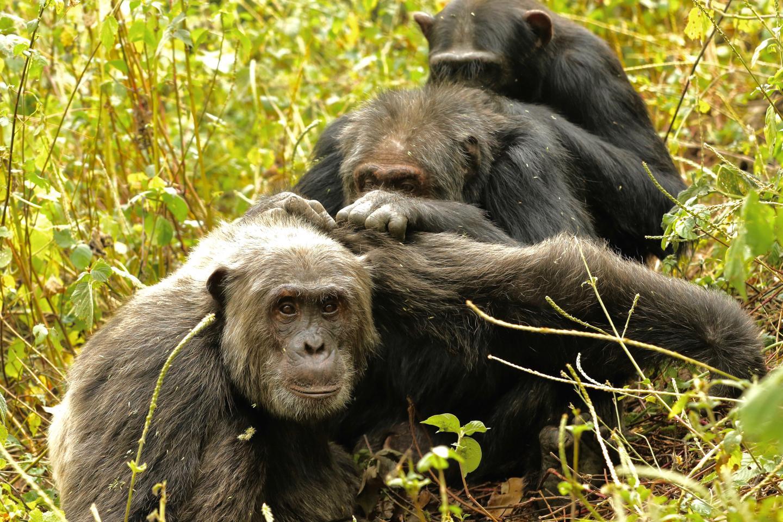 Kanyawara Chimpanzee Triad Grooming