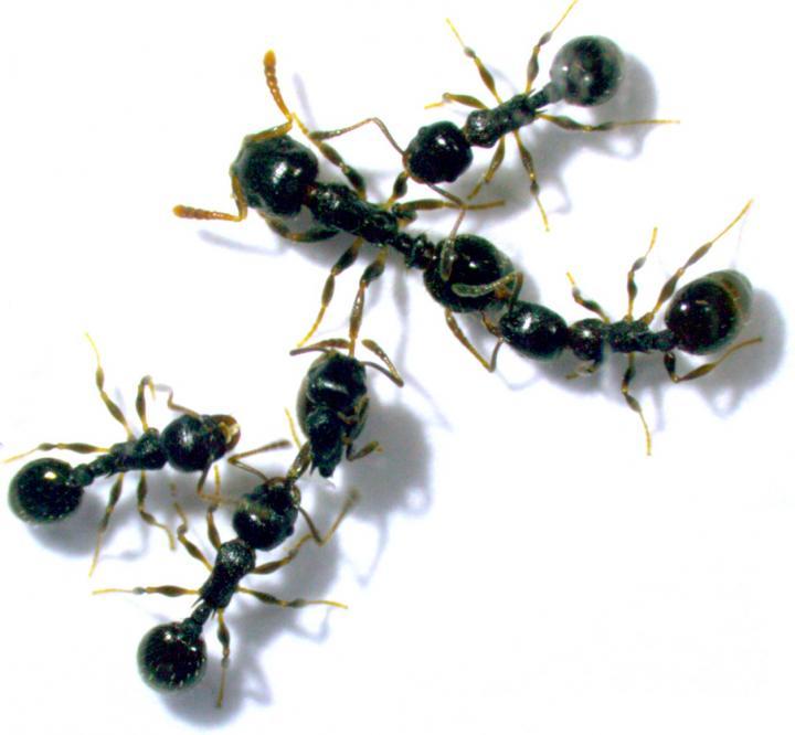 <em>T. longispinosus T. americanus</em> Invasion