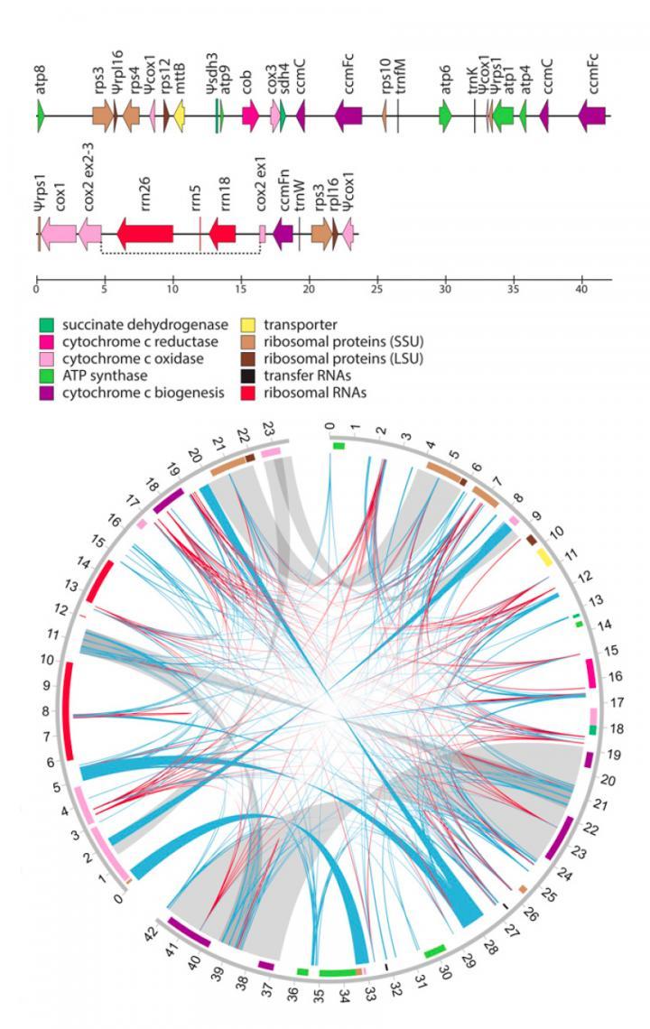Mistletoe Gene Map