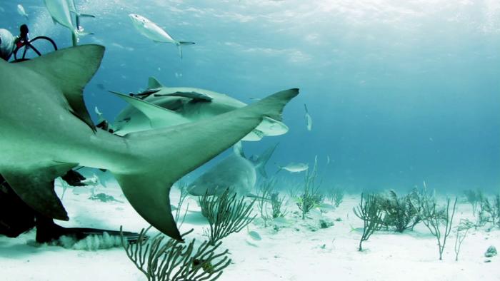 Sharks congregate at dive tourism feeding site at Tiger Beach, Bahamas