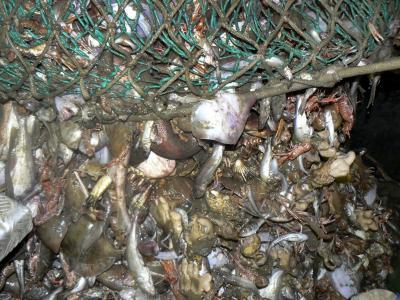 Prawn Trawl Bycatch