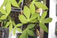 Cassava Seedlings