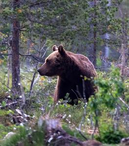 Scandinavian brown bear