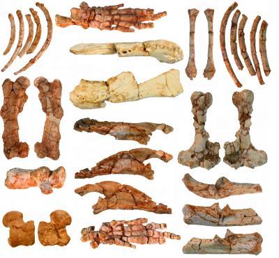 Fig. 1. Elements of the Skeleton of <i>Ernanodon</i> from the Naran Bulak Locality in Mongolia