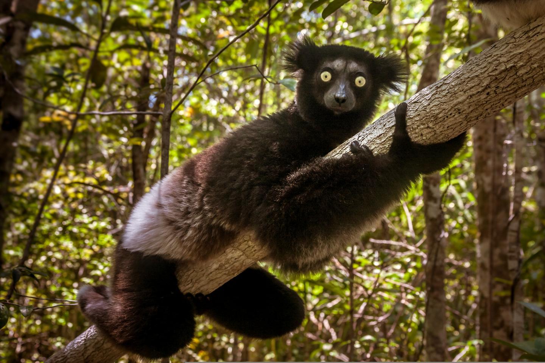 Endangered Indri