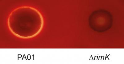 <em>Pseudomonas</em> Infection of Horse Blood Cells, with and without the Rimk Protein