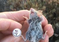 Western harvest mouse