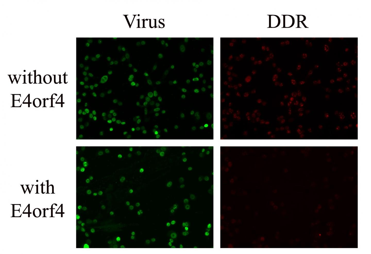 Adenovirus Dampens Host DNA Damage Response -- Implications for Control and Cancer Therapy