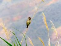 Great Reed Warbler 3
