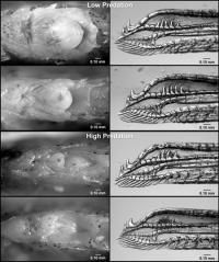 Female Fish Genitalia Evolve in Response to Predation, Interbreeding